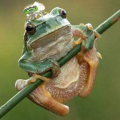A green-eyed damselfly perches on the back of a frog....I love this!