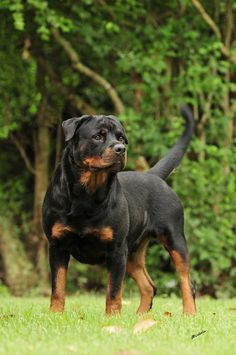 Rottweiler. I've never seen one with a tail