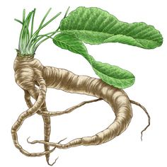 Growing horseradish is possible in a wide range of climates because they are such tough, persistent plants. Horseradish roots are harvested from fall through winter.