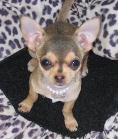 Bitsy the Chihuahua~ she is just too cute