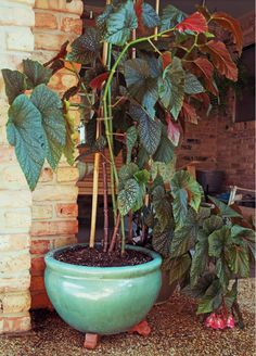 Angel leaf begonia is descended from my grandmother's plant that lived on her back porch decades ago.