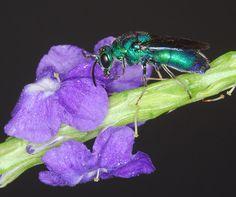 Cuckoo Wasp - Chrysis angolensis
