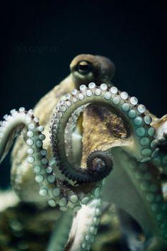 octopus, cephalopod, Silvia Cipriani