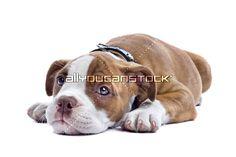 Bulldog Puppies, Pitbulls, Dogs, Artist, Animals, Animales, Pit Bulls, Animaux, Pet Dogs