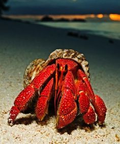 Hermit Crabs are amazing creatures. This one is a Strawberry Hermit Crab.