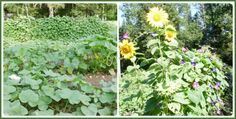 Gardening Cook fan shares her garden photos.  See more fan harvests here :  http://thegardeningcook.com/vegetable-gardens-from-my-fans/