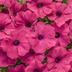Proven Winners - Supertunia Vista® Fuchsia - Petunia hybrid pink fuchsia pink plant details, information and resources. Container Gardening Vegetables, Succulents In Containers, Container Plants, Vegetable Gardening, Container Flowers, Indoor Gardening, Petunias, Pink Flowers, Beautiful Flowers