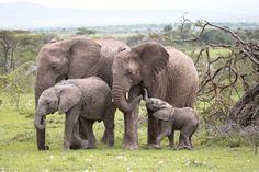 Photo of the day - National Geographic Channel - Asia World Elephant Day, Elephant Family, Elephant Love, Elephants Photos, Elephant Pictures, Animal Pictures, Large Animals, Animals And Pets, Baby Animals