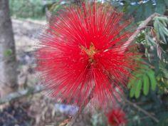 Nome popular: Esponja; Esponjinha; Mandruvá; Quebra-foice. Nome científico: Calliandra tweedii Benth. Nome vulgar: esponjinha-vermelha, mandararé, caliandra, esponjinha-sangue, esponjinha Família: Mimosaceae Origem: Brasil.