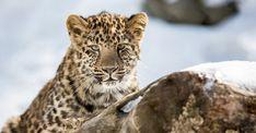 De nouveaux espaces pour les léopards de l'Amour au Zoo de Granby