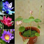 #7: Beautiful Aquatic Mini Lotus Flowers 10 Seeds Mixed Colors