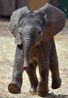 Happy Elephant, Cute Baby Elephant, Cute Baby Animals, Animals And Pets, Funny Animals, Wild Animals, Elephants Photos, Save The Elephants, Elephant Photography