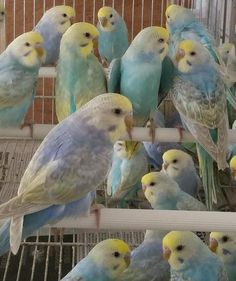 rainbow budgies for sale - Google Search