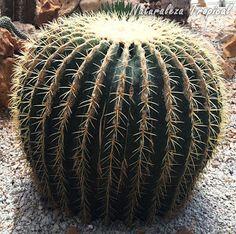 El Cojín de Suegra es uno de los cactus más populares del mundo, Echinocactus grusonii