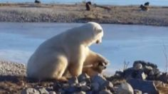 They make an odd couple, but a big-bodied polar bear and diminutive dog threw caution to the tundra winds and cuddled up close in Churchill over the weekend.