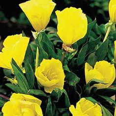 "$5.99 - Missouri Evening Primrose Perennial Height: 6-12""  Zones: 3 to 7 Sun Exposure: Full sun to part shade"