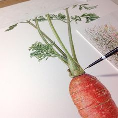 This orange carrot holds much longer than the purple ones, but it never stays the same, of course. My works is almost done. Now, what I am thinking of is how to cook all the carrots in my fridge. Maybe carrot soup. I think that is a good idea. Watercolor Fruit, Watercolor Flowers, Watercolor Paintings, Watercolor Pictures, Watercolours, Botanical Drawings, Botanical Prints, Carrot Drawing, Fruit Art