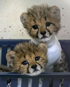 Cheetah Pictures, Funny Animal Pictures, Funny Animals, Wild Animals, Most Beautiful Animals, Beautiful Cats, Big Cat Family, Wolf Spirit Animal, Baby Cheetahs