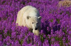 polar bears amongst the fireweed in churchill, manitoba. the area has the largest, and most southerly, concentration of the animals on the planet. in late summer and early fall the polar bears make their way to the hudson bay, waiting for it to freeze over so they can hunt for seals on the ice. but every year, the ice is forming later and later, forcing the polar bears to go hungry for longer.