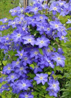 19 best flowering vines images on pinterest outdoor plants garden brother stefan clematis delights with large blue flowers and a long bloom time it is mightylinksfo