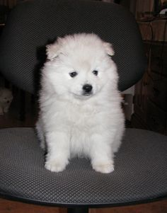 mini American Eskimo, so cute! Try taking him out in the snow and finding him again!
