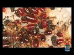How To Inspect A Bed For Bed Bugs Bbtv 43