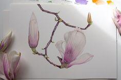 Magnolia Liliiflora. Botanical illustration. Fine art