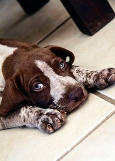 Health Problems in German Shorthaired Pointers Click the picture to read