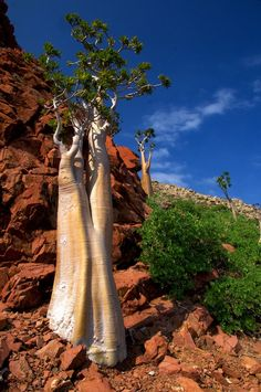 One of the endemic trees of the small island of Socotra, Yemen