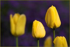 love the color contrast.  violet-yellow