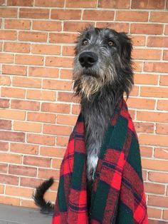 While some people prefer small and cute puppies running around their house, there are others whose dogs hardly live in a house. The Irish Wolfhound is Lap Dogs, Dogs And Puppies, Doggies, Irish Wolfhound Puppies, Irish Wolfhounds, Dog Couch, Scottish Deerhound, Mundo Animal, Hunting Dogs