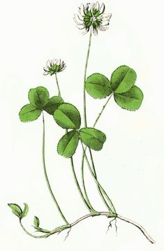 Three, pretty hand-watercolored pictured of clover flowers are the focus of today's post. Included are examples of pink, white and yellow varieties.