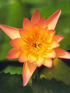 Gartenteich Seerosen Carolina Sunset Sorte Winterhart 30cm ... Gartenteich Mit Seerosen Sorten