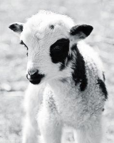 Portrait of a Lamb - 8x10 Soft Black and White Nature Farm Animal Photography Print - Baby Lamb Photo - Easter Spring