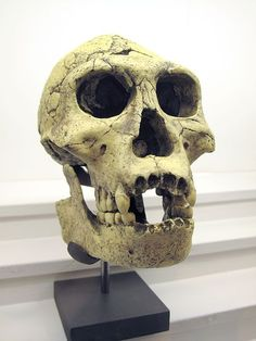 Homo sapiens interbred with THIRD species of hominem on way to Australia: DNA study finds mystery new ancestor Ancient Art, Ancient History, Biological Anthropology, Early Humans, Human Evolution, Animal Bones, Stone Age, Darwin, Oeuvre D'art