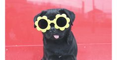 Our favourite fashion pug Suki and the city in our Mini Boden sunflower fun sunglasses. See more of Suki's picks on the Boden blog!