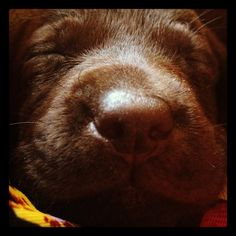 Chocolate Labrador nose