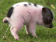 peeing pig