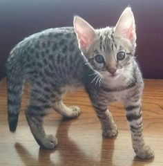 Snow Canyon Savannaha, Savannah Kittens for sale, Savannah Breeder, Savannah cat information