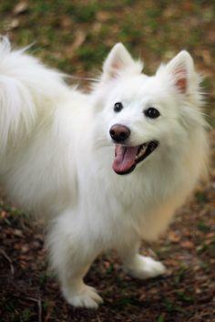My wonderful happy boy, Baron the American Eskimo (Spitz)... 3 years old.  Positivelypeachy.Com