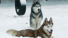 Would you jump at the chance to extend the life of your beloved dog? To discover how, go to http://lovedogs.from.media/go  Siberian Huskies Play in NJ Blizzard 2016 - Mishka