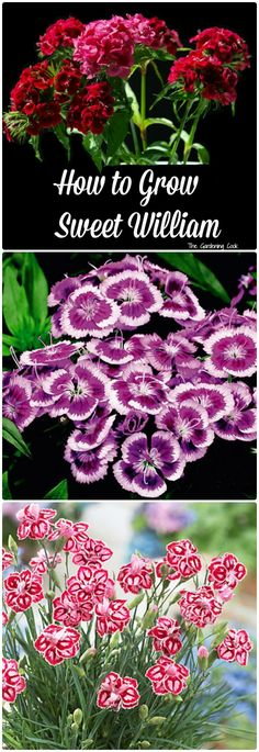 22 best dianthus perennial pinks images on pinterest dianthus dianthus barbatus perennial mounding and container plant how to grow mightylinksfo