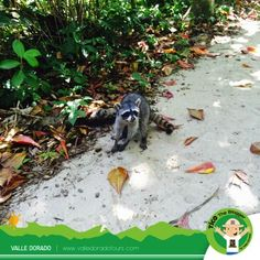 Welcome to the tropical wonderland where raccoons come and greet you! They know they are totally irresistible ...
