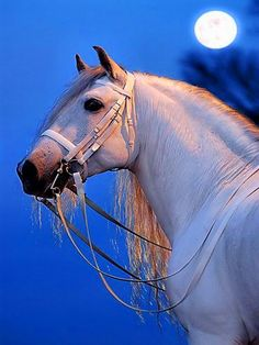 Beautiful white horse and a blue sky in the background with a glowing white moon. Romantic pic. Moonlight is glowing on the horse and her long beautiful mane. Wonderful horse photography. Photo found from Ravenwhimsy - tumblr.