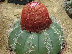 Melocactus neryi