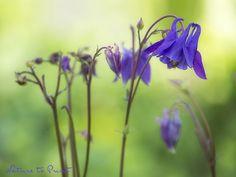 Blaue Akelei im Frühlingsgarten