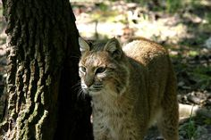 Bobcats are nocturnal animals and difficult to see in the wild. They live throughout West Virginia in small caves and hollow trees, and here at the Wildlife Center.