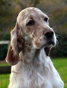 English Setter - What a Handsome Dog! English Setter Puppies, Puppy Images, Irish Setter, Dog Rules, Wild Dogs, Hunting Dogs, Family Dogs, Beautiful Dogs, Dogs And Puppies