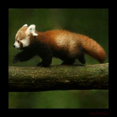 red panda baby - Buscar con Google