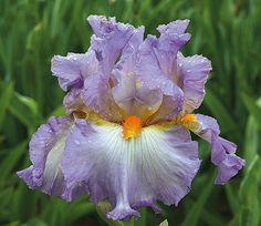 """Oui Madame opens as a deeper lavender, then fades to a feminine lilac. Type: Tall Bearded (TB) Style: Self Height: 38.0"""" Color: Lavender Originator: Schreiner Year: 2013 Bloom Season: Early-Mid Fragrant: No Rebloom: No"""